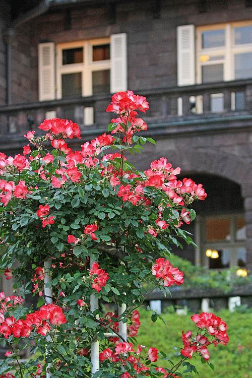 rose0903_y750.jpg