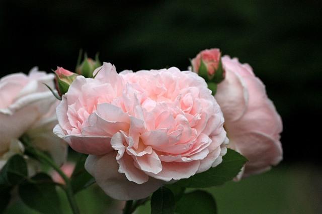 rose0916_x640.jpg