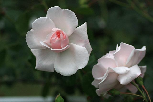 rose0918_x640.jpg