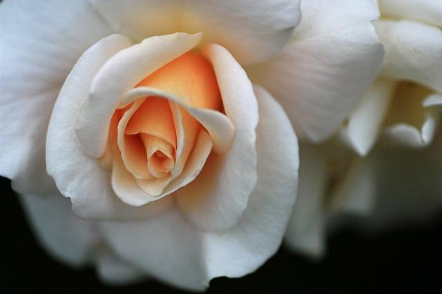 rose0919_x640.jpg