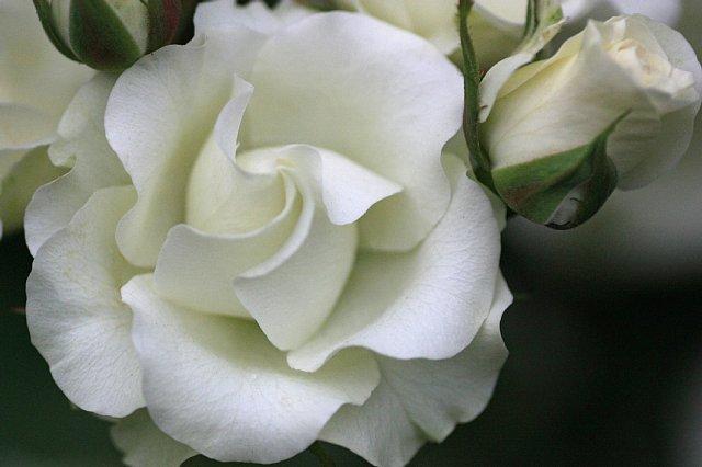 rose0924_x640.jpg
