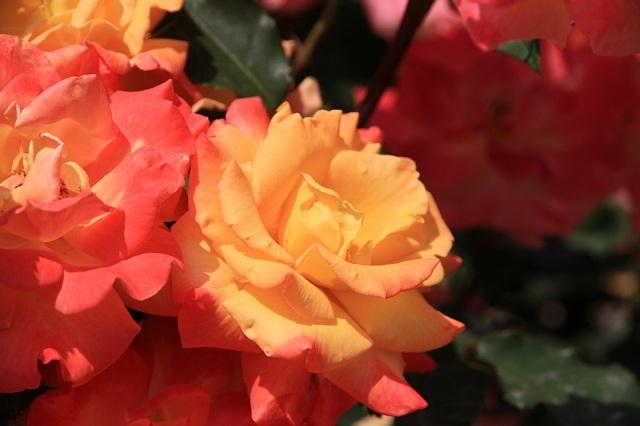 rose1109_x640.jpg