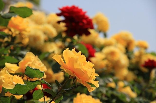 rose1111_x640.jpg