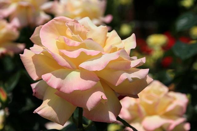 rose1117_x640.jpg