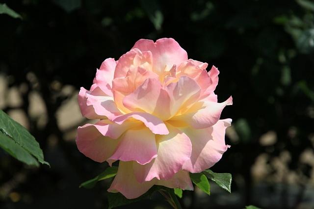 rose1118_x640.jpg