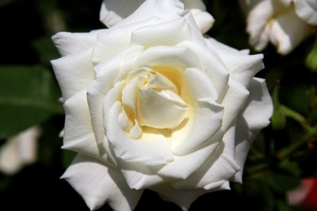rose1125_x640.jpg