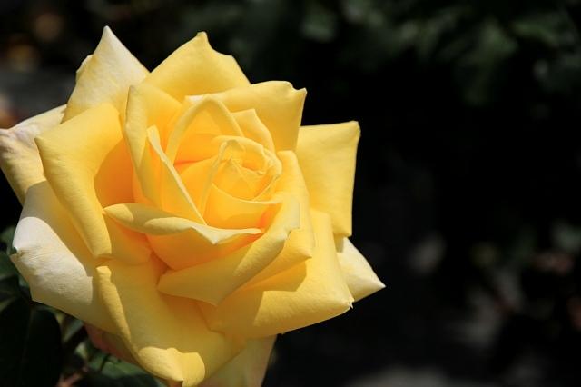 rose1128_x640.jpg