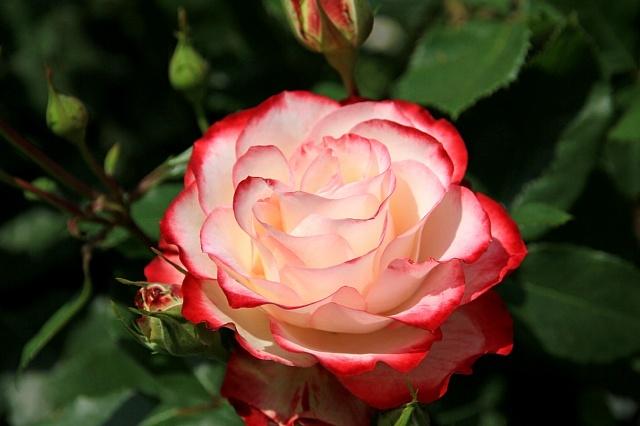 rose1133_x640.jpg