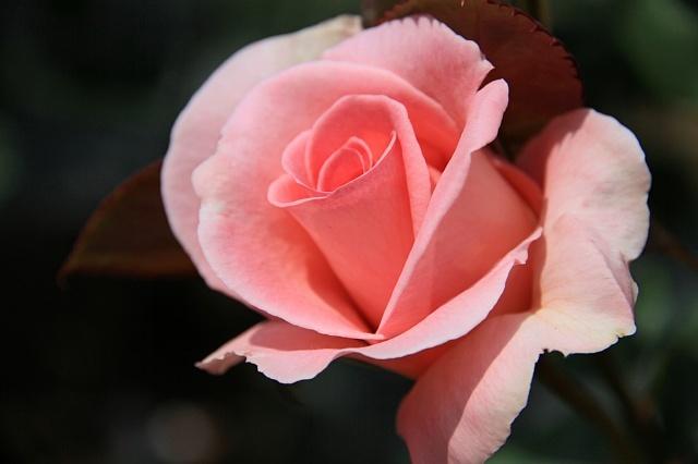 rose1139_x640.jpg
