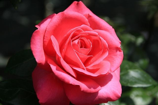 rose1142_x640.jpg