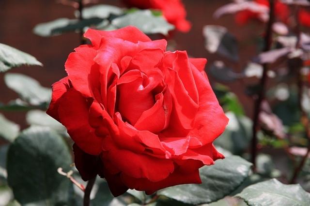 rose1143_x640.jpg