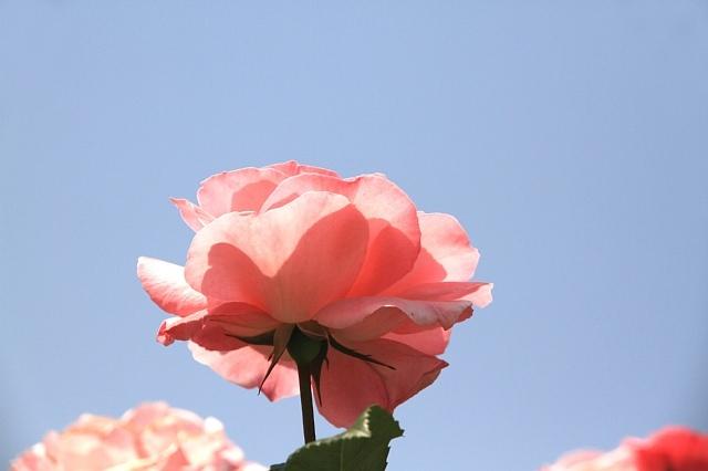 rose1147_x640.jpg