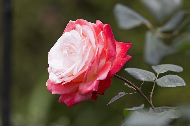rose1411_x660.jpg
