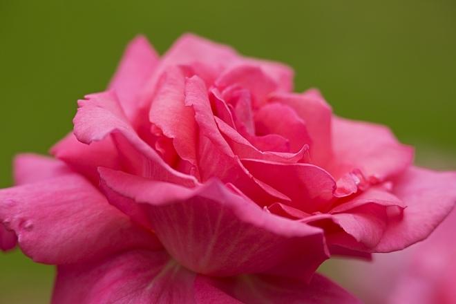 rose1414_x660.jpg