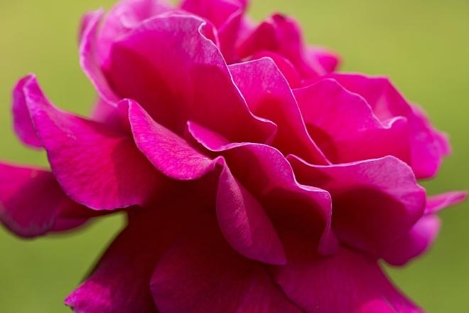 rose1415_x660.jpg