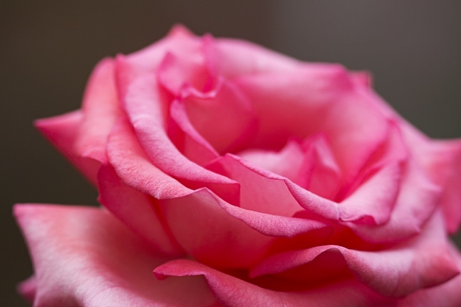 rose1417_x660.jpg