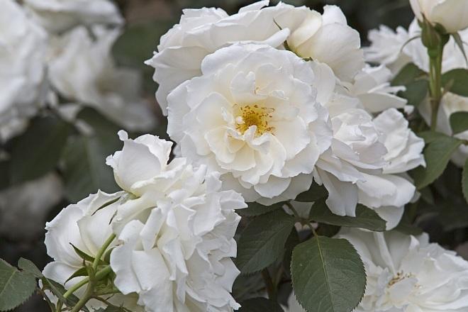 rose1422_x660.jpg