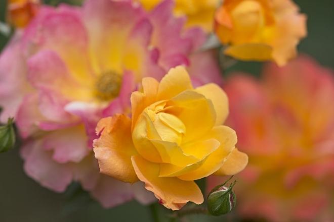 rose1429_x660.jpg