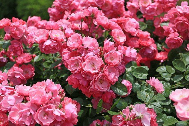 rose1437_x660.jpg