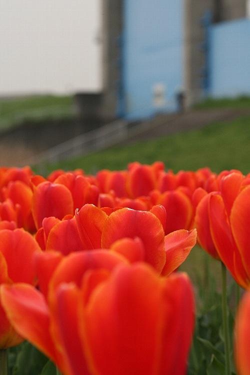 tulip0809_y750.jpg