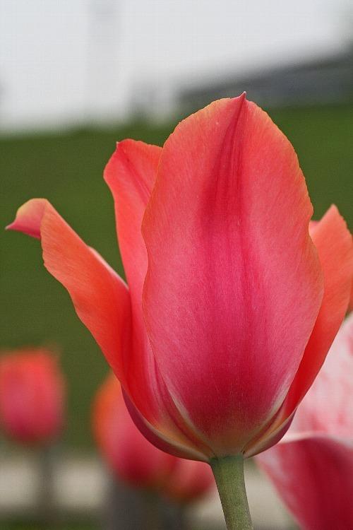 tulip0811_y750.jpg