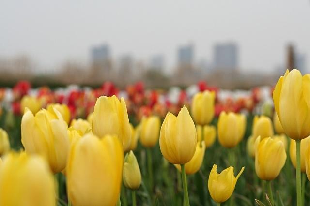 tulip0813_x640.jpg