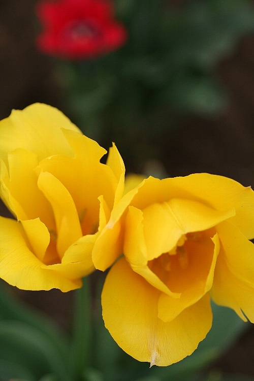 tulip0815_y750.jpg