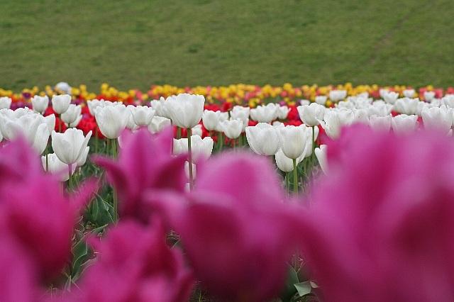 tulip0819_x640.jpg