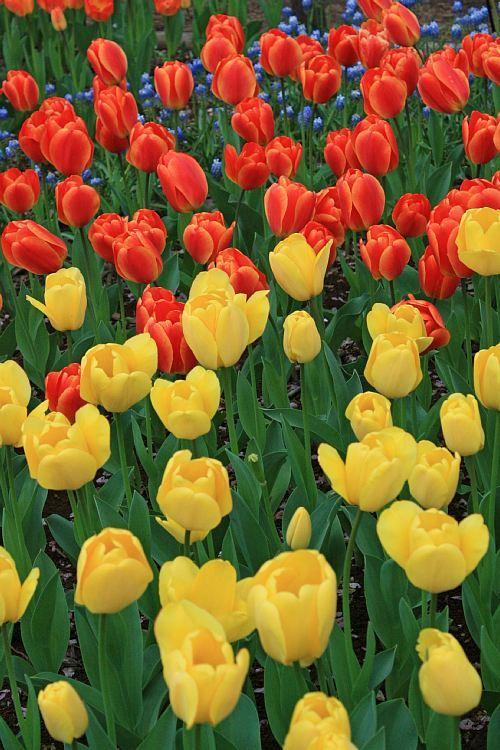 tulip1002_y750.jpg
