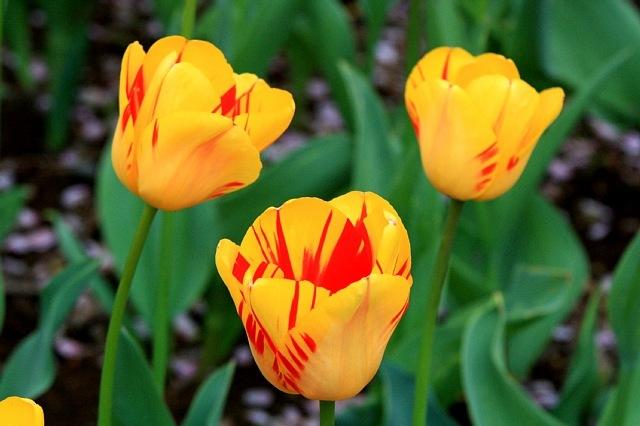 tulip1007_x640.jpg