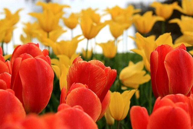 tulip1011_x640.jpg