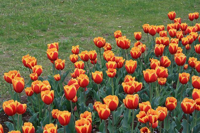 tulip1016_x640.jpg