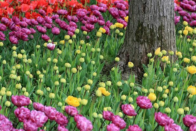 tulip1017_x640.jpg