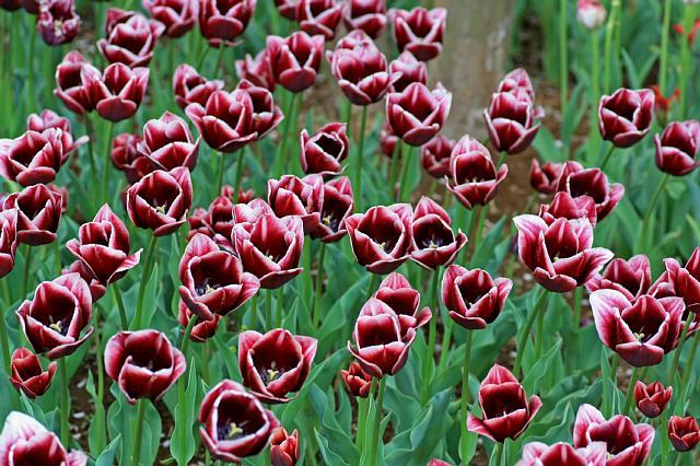 tulip1022_x640.jpg