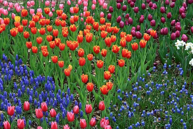 tulip1024_x640.jpg