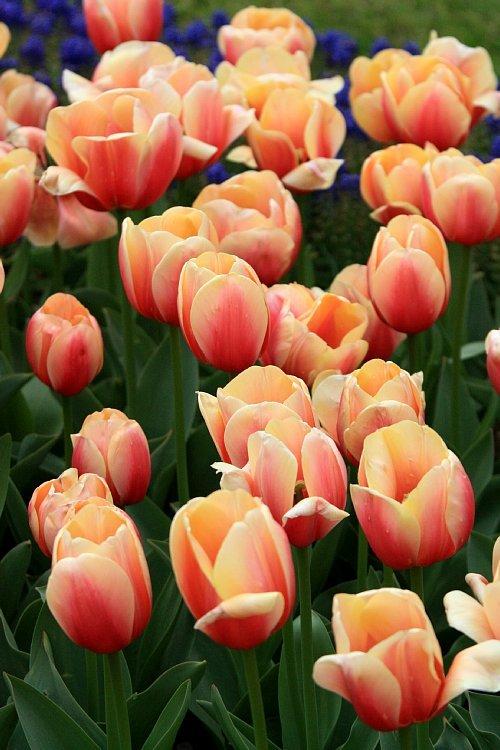 tulip1027_y750.jpg