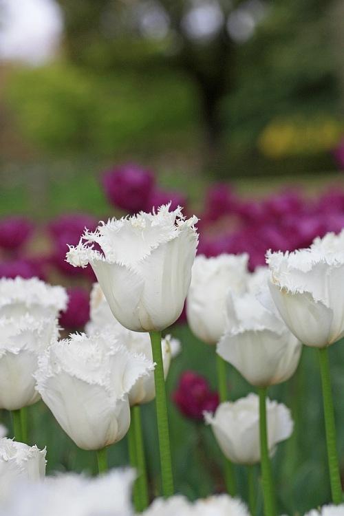 tulip1030_y750.jpg