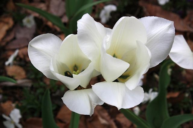 tulip1032_x640.jpg