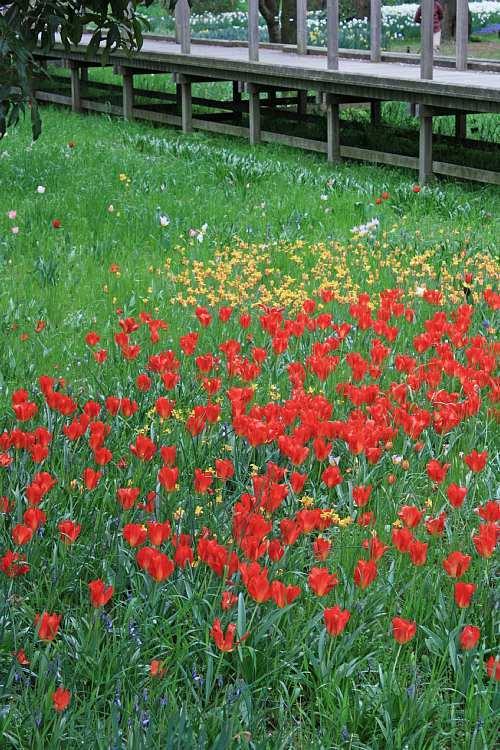 tulip1035_y750.jpg
