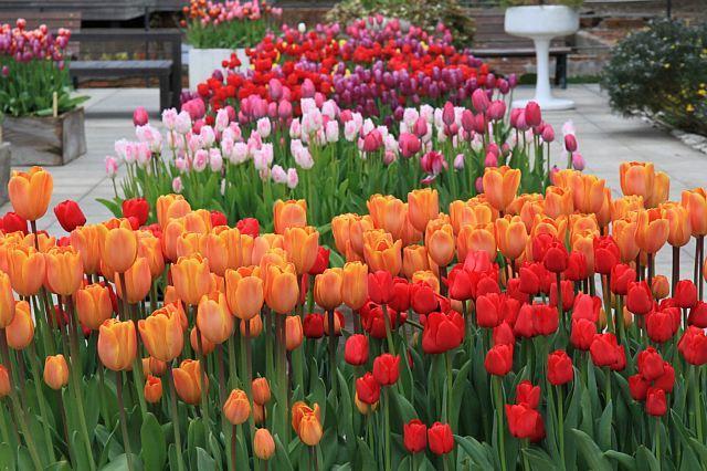 tulip1103_x640.jpg