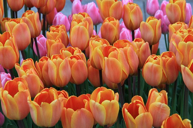 tulip1105_x640.jpg