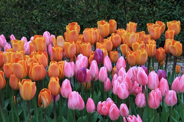 tulip1106_x640.jpg