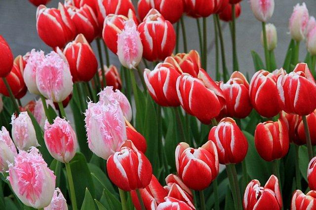tulip1111_x640.jpg