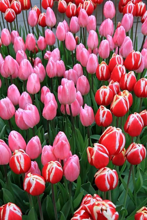 tulip1113_y750.jpg