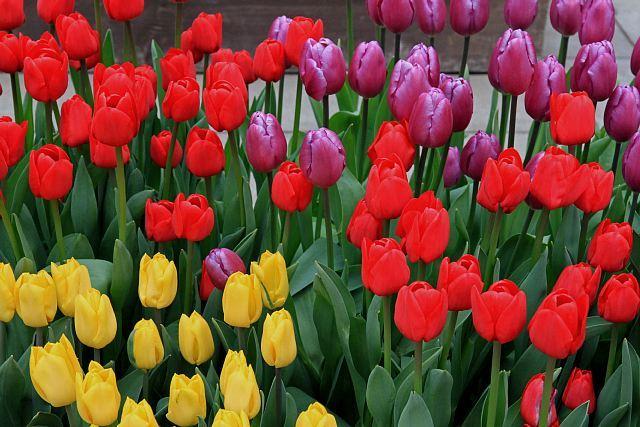 tulip1116_x640.jpg