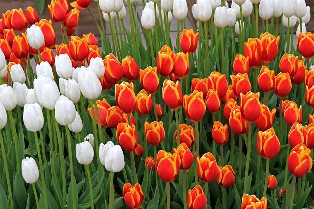 tulip1120_x640.jpg