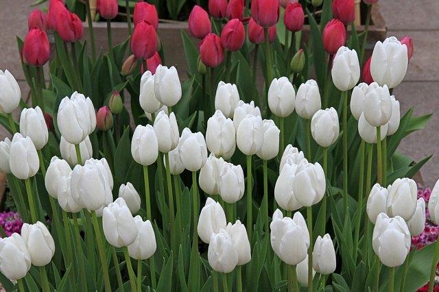 tulip1121_x640.jpg