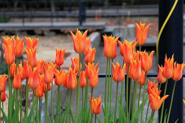 tulip1123_x640.jpg