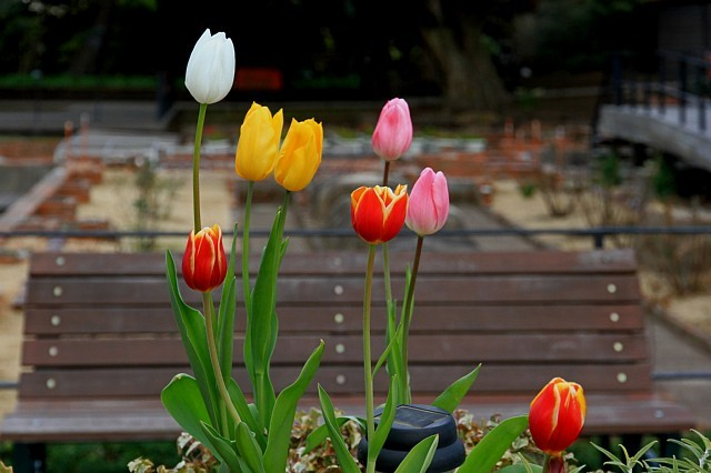 tulip1124_x640.jpg