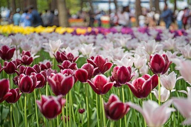 tulip1706_x660.jpg